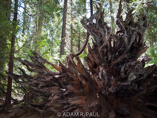 Sequoia roots