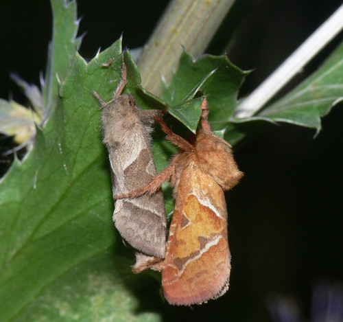 Orange Swift (Hepialus sylvina) m + f