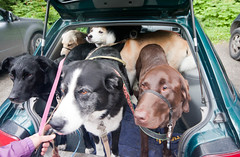 Seven Dogs in Suburu