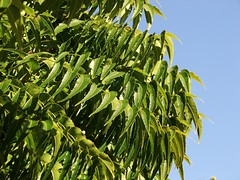 Neem - the pharmacy tree