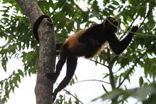 Monkey hanging by its tail