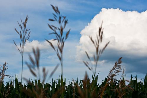 {189/365} corn field