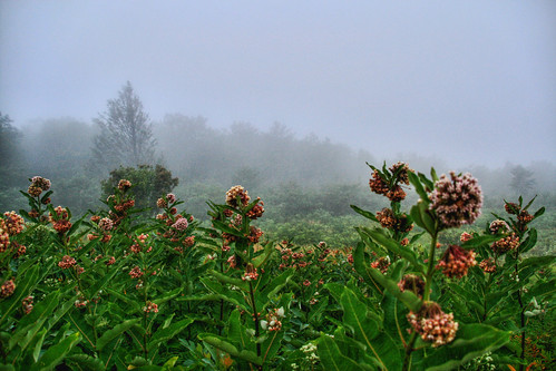 Milkweed and the Mist