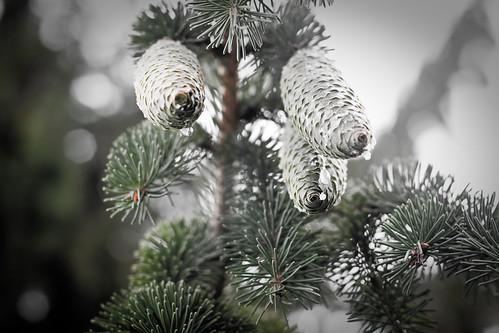{224/365} pine cones