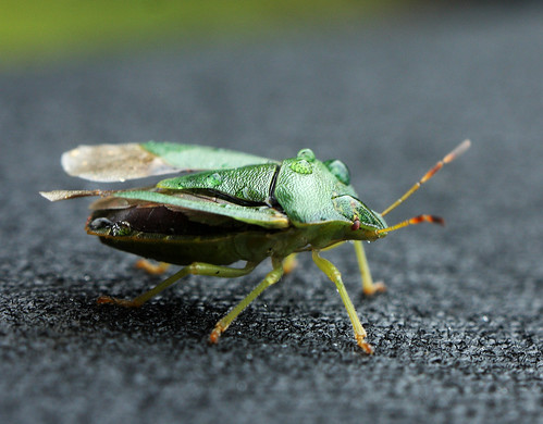 Green Shield Bug 3