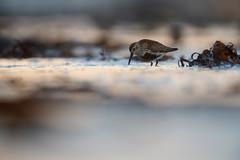 Dunlin | kärrsnäppa | Calidris alpina