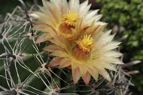 Cactus flower I