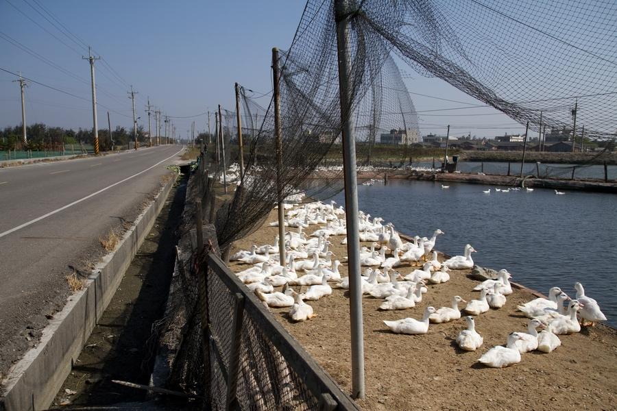 20110205_04_Beautiful Duckling_06