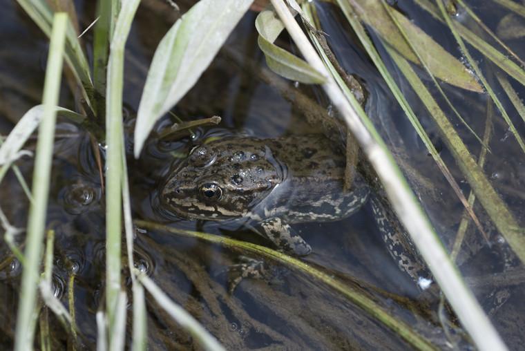 Frog (he's hiding)