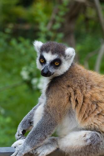Lemur, not lemar.