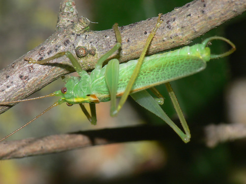 Oak bush-cricket (Meconema thalassinum), m.