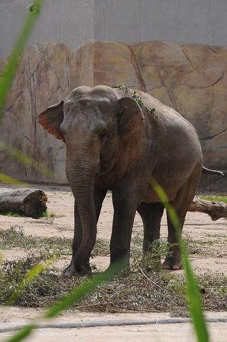 Asiatischer Elefant Bindu im Kölner Zoo