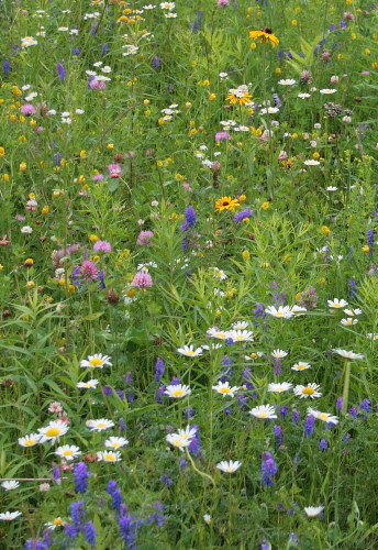 Meadow wildflowers