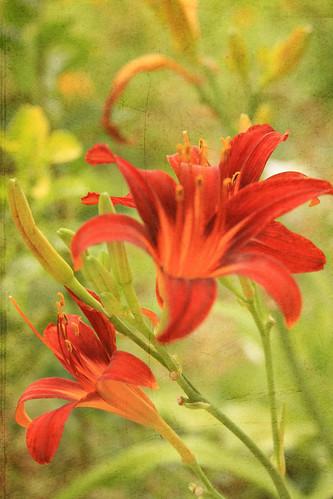 365-178a Textured Lilies