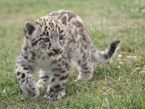 Baby snow leopard 28