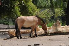 Przewalski-Pferd im Kölner Zoo