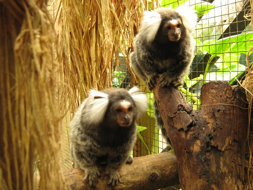 the marmoset