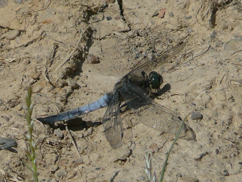 Black-tailed Skimmer(?)