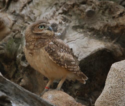 Loud Owl