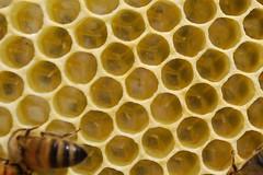 Honeybee eggs
