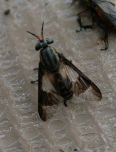 deerfly, Chrysops sp