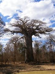 Baobab sagrado (Adansonia grandidieri)