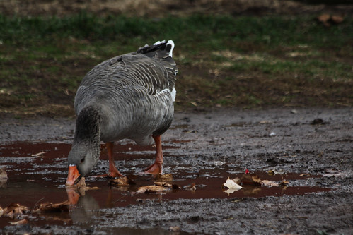 Puddle And A Goose