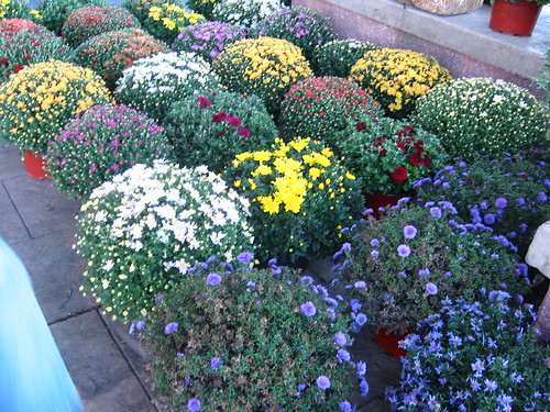 Mums and Asters