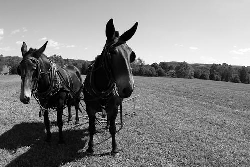 B/W Mules