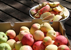 abundant harvest-local apples