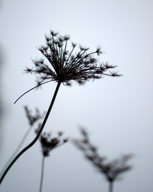 When Queen Anne's Lace dies