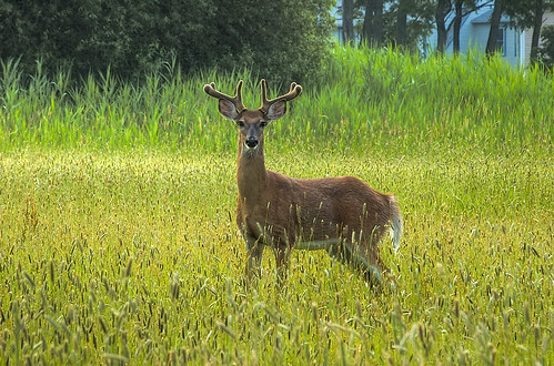 Deer at strawberry hill