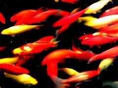 Carpa Koi - Um dos peixes mais fascinantes de criar em aquários
