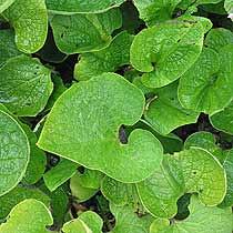 brunnera_macrophylla