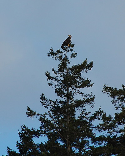 7 immature bald eagle