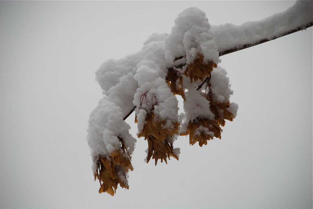 Snow on maple seeds