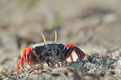 100911 - Porcelain fiddler crab, female