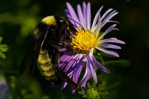 Bumblebee on Fall Aster