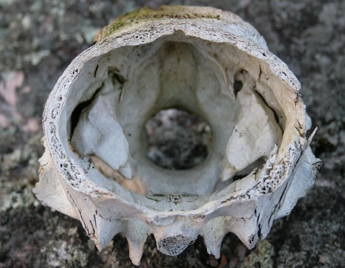 White-tailed Deer skull, antlers removed