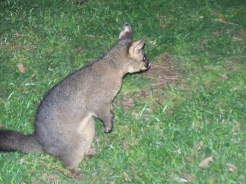 A better shot of a possum, possibly
