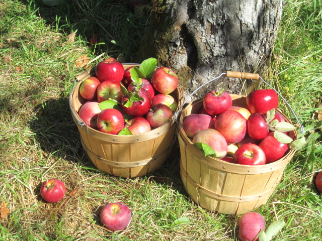 Apple Bounty
