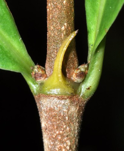 Cyclophyllum multiflorum (Canthium)