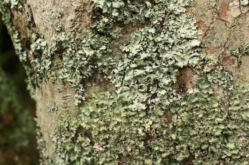 Lichen, Victoria, Australia