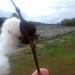 cottonfield301
