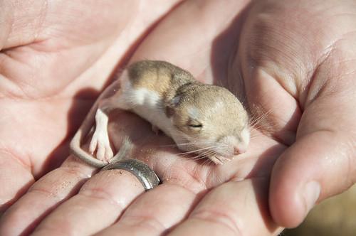 baby kangaroo rat a
