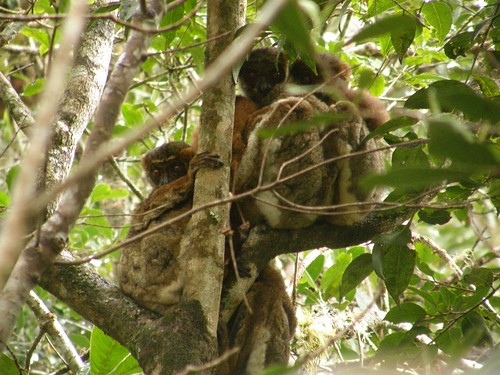 Lémures lanudos (Avahi laniger)