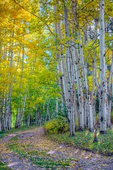 Aspens in Autumn, Elk Mountain Ranch, CO