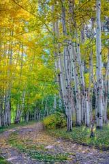 Aspens in Autumn, Elk Mountain Ranch, CO