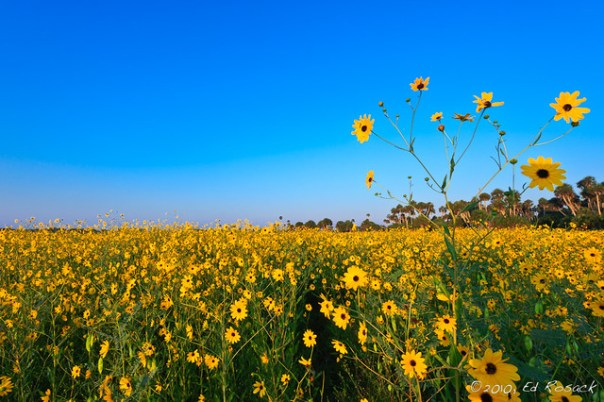 Lake Jessup Wildflowers