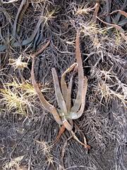 Aloe isaloensis